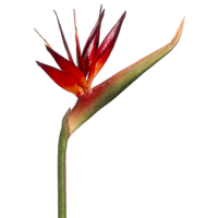 39 Inch Bird of Paradise Spray