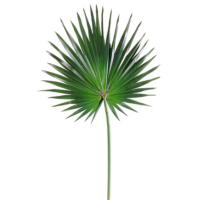 Fan Palm Branch