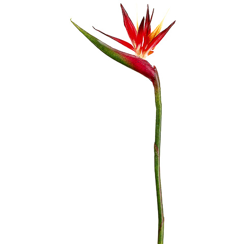 37 Inch Bird of Paradise Spray
