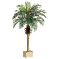 5' Phoenix Palm Tree in Rectangular Plastic Pot