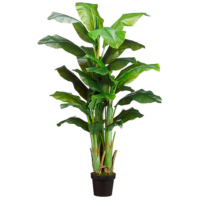 5 Foot Banana Tree x3 in Pot