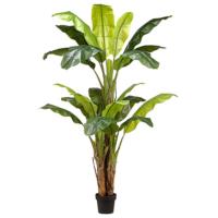 70.75 Inch Banana Tree in Nursery Pot