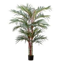 6 Foot Rhapis Palm in Pot