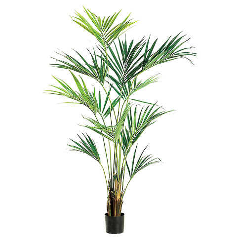 7.75 Foot Kentia Palm Tree in Pot
