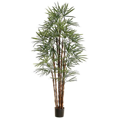 6.8 Foot Rhapis Palm Tree x10 in Pot
