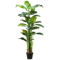 7.5 Foot Banana Tree x3 in Pot