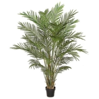 6 Foot Areca Palm Tree