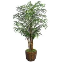 8 Foot Areca Palm Tree