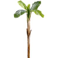 54 Inch Banana Tree