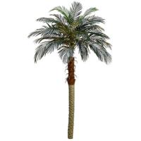 6' Phoenix Palm Tree