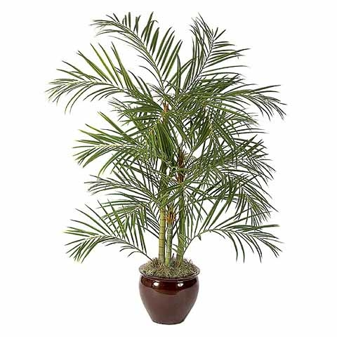 6 Foot Areca Palm Tree