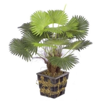 18 Inch Potted Mini Fan Palm