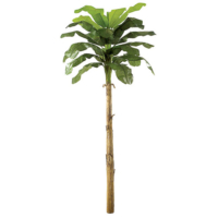 15 Foot Banana Palm Tree