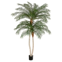 8.5 Foot Phoenix Palm Tree with Double Trunk