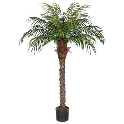 6 Foot Date Palm Tree