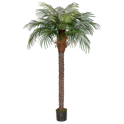 8 Foot Date Palm Tree