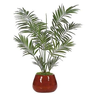 6.5 Foot Kentia Palm Tree