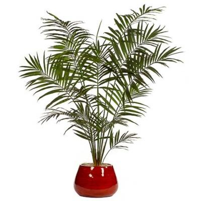 8.5 Foot Kentia Palm Tree