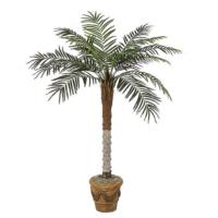 5 Foot Phoenix Palm Tree