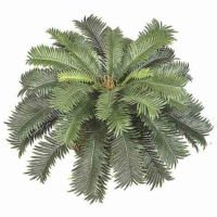 Cycas Palm Bush