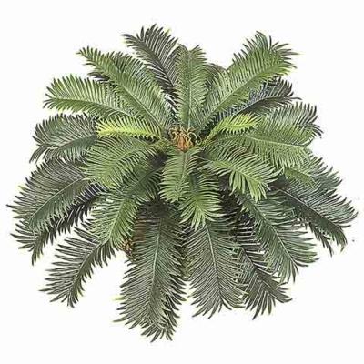 26 Inch Width Cycas Palm Bush Cluster