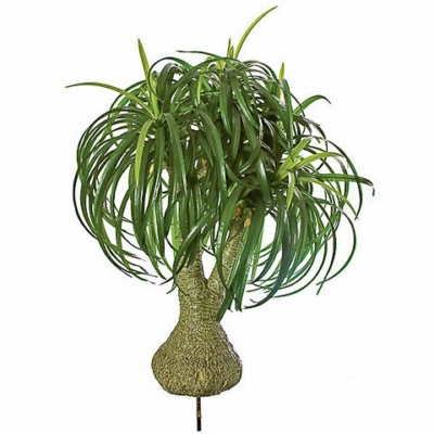 32 Inch Ponytail Palm