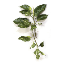 34 Inch Pothos Vine w/Air Roots