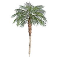 8 Foot Phoneix Palm