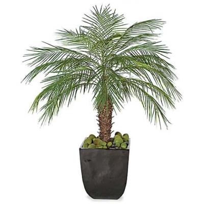 5 Foot Phoneix Palm