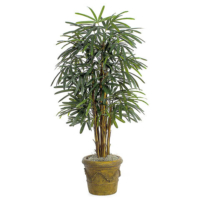5 Foot Lady Palm Tree