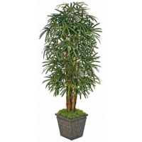 7 Foot Lady Palm Tree