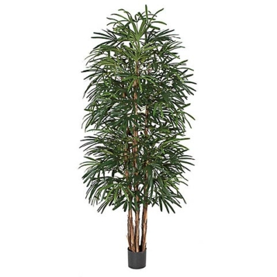 8 Foot Lady Palm Tree