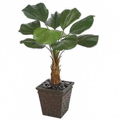 57 Inch Licuala Grandis Fan Palm