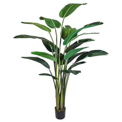 8 Foot Bird of Paradise Plant w/18 Lvs. in Plastic Pot
